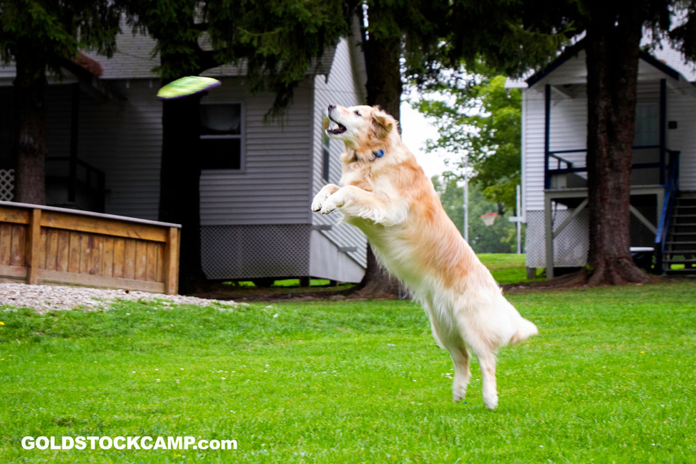 Stella catching a frisbee at Goldstock 2014.
