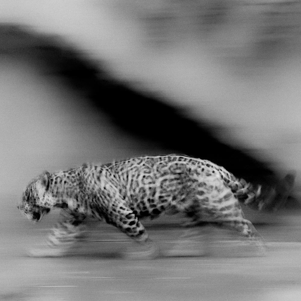 Jaguar_JCEpong.jpg