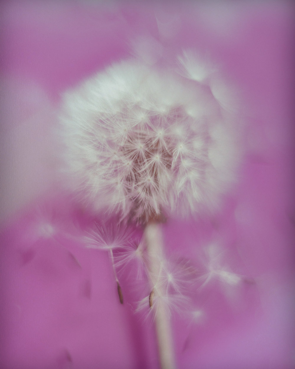 dandelion-1.jpg