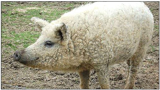 JC_sheep-pig.jpg