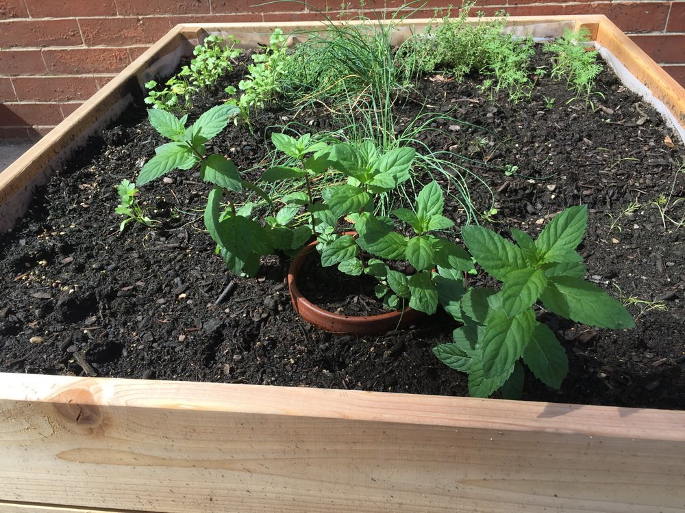 Mint in the herb garden
