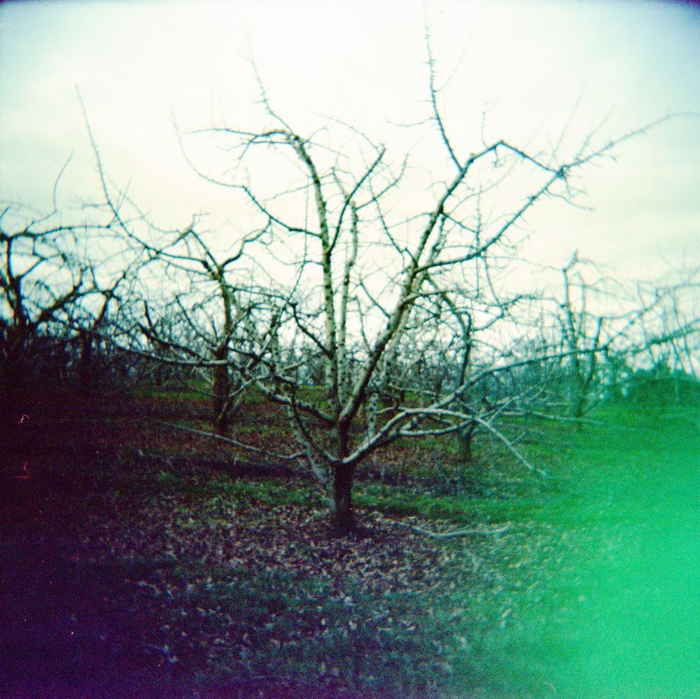 orchard_tree.jpg