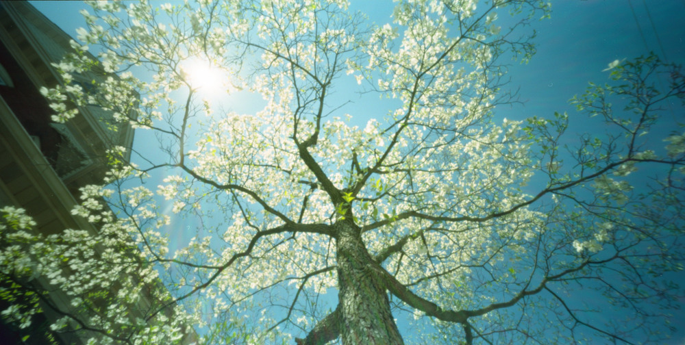 wppd_2016_dogwood_blooms_2.jpg