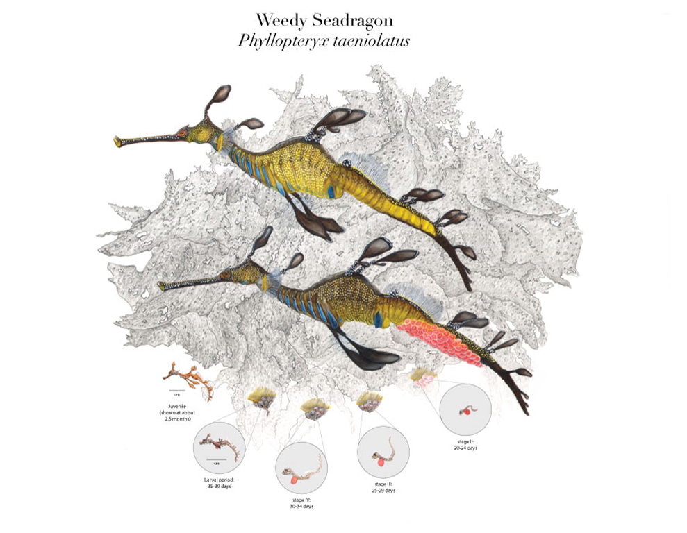 Weedy Seadragon Life Cycle