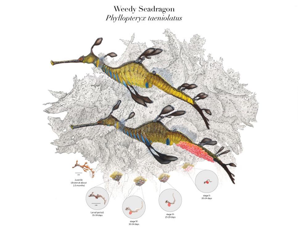 Weedy Seadragon Life Cycle