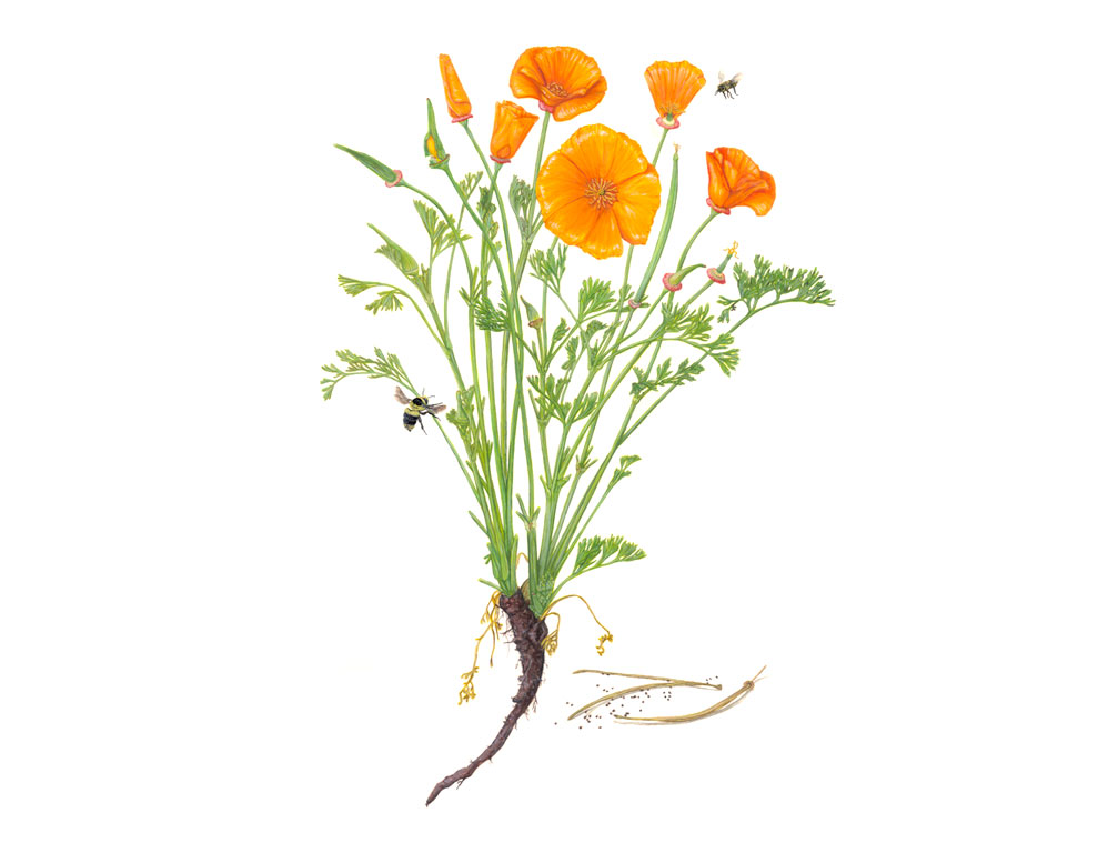 bee-poppies.jpg