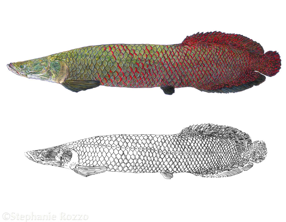 arapaima-website.jpg