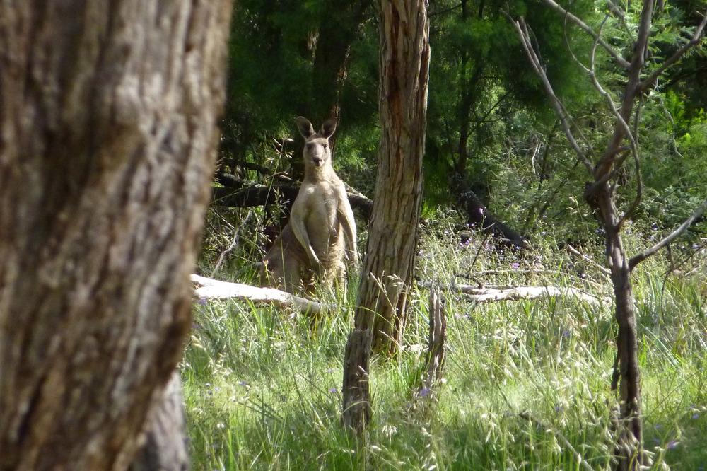 Kangaroo in Barrm Birrm