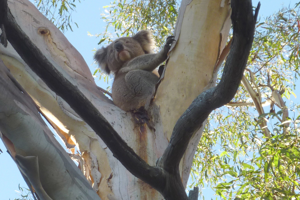Koala at Riddells