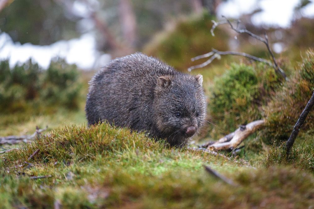 Some cute Cradle Mountain wildlife.
