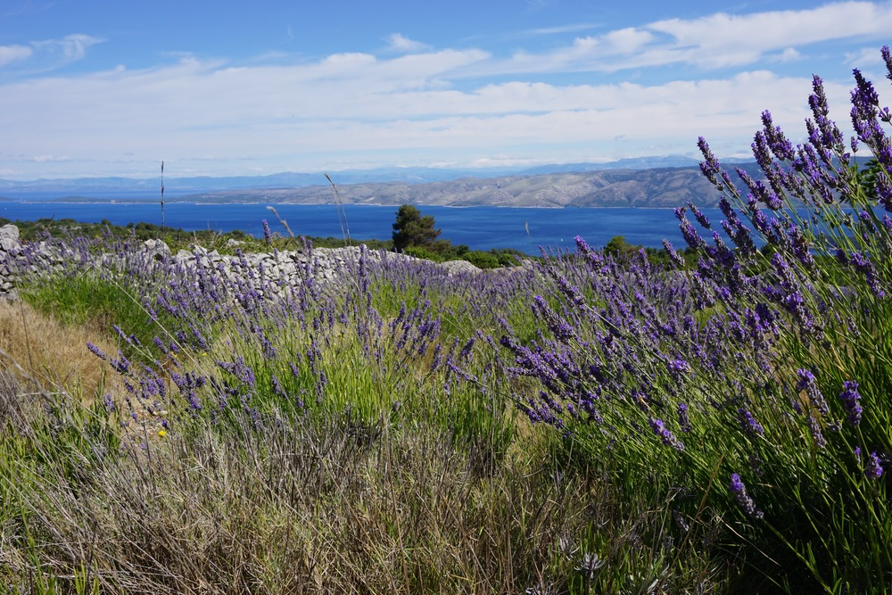 lavender fields, hvar
