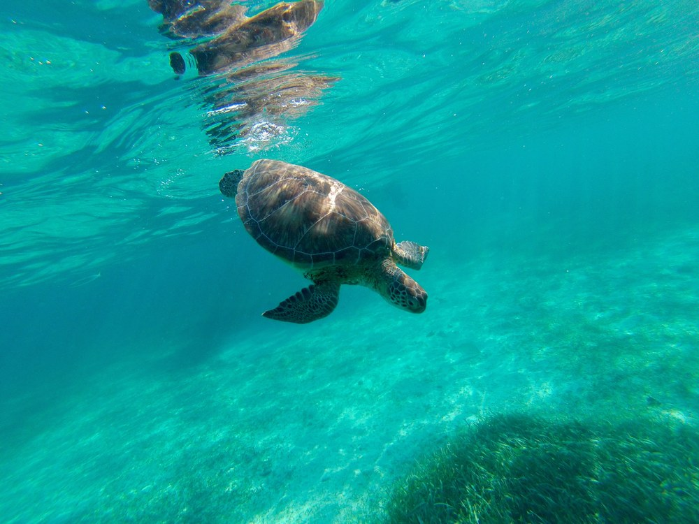 Swimming with Turtles at Hol Chan Marine Reserve along Belize's Coral Reef.