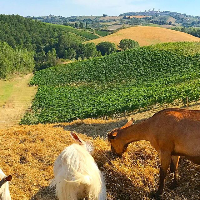 Feeding our new friends in Tuscany 🐐🐐🐐🐐🐐#sangimignano in the background. 🍷🍷🇮🇹🇮🇹