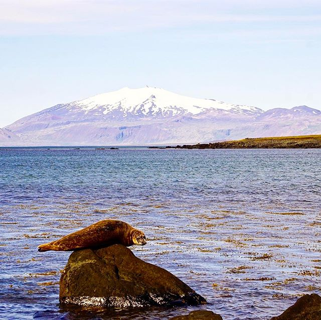 Just a fur seal chilling in the shadow of the  Snæfellsjökull glacier (volcano). 🇮🇸🇮🇸🇮🇸🇮🇸🇮🇸🇮🇸🇮🇸🇮🇸🇮🇸🇮🇸🇮🇸🇮🇸🇮🇸🇮🇸🇮🇸🇮🇸There were so many of them fighting to be able to sun bake on the limited rocks there.