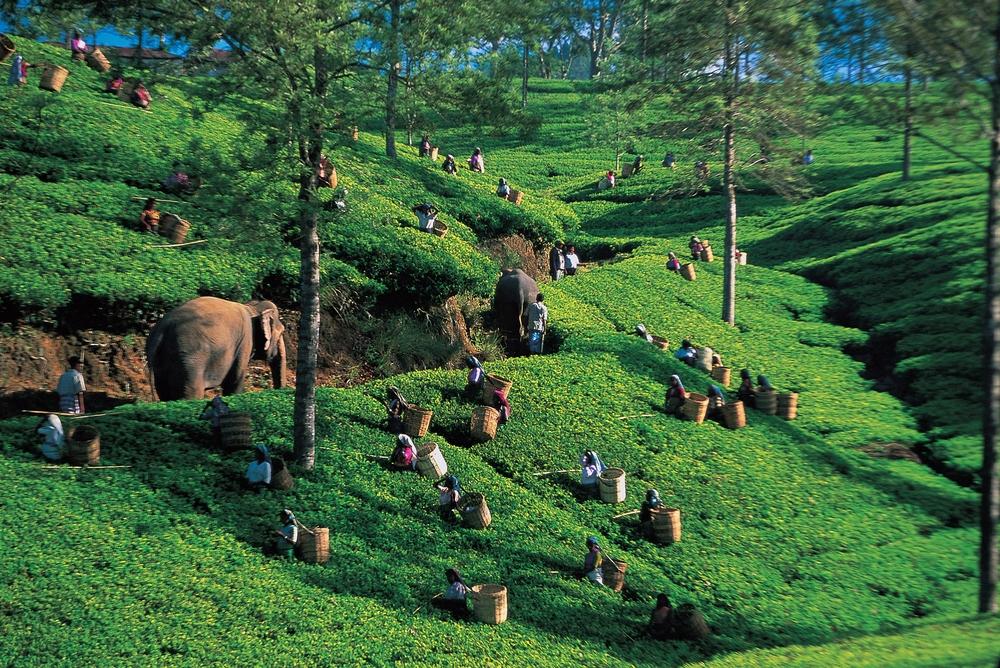 Sri lankai teaültetvény