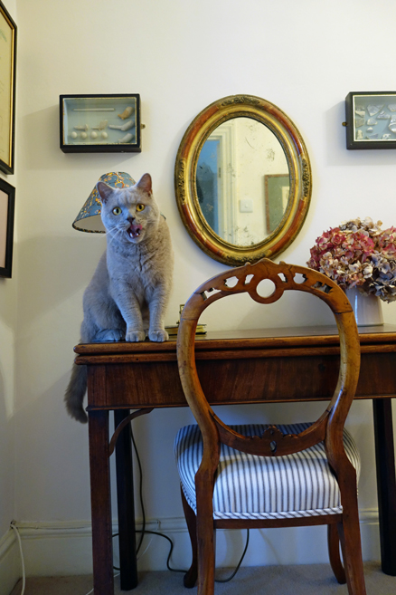 british shorthair cat in hallway