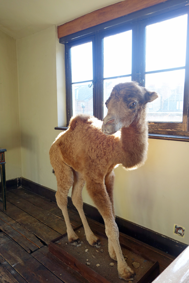 Stuffed camel from Rupert Hunt's house