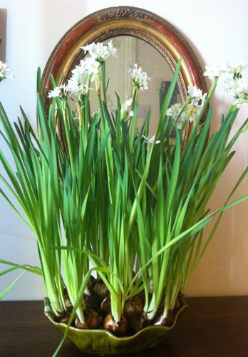 paperwhites grown in a lettuce ware dish