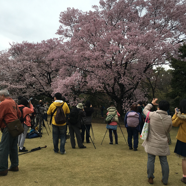 Cherry blossom season in Japan taken by Isla Simpson