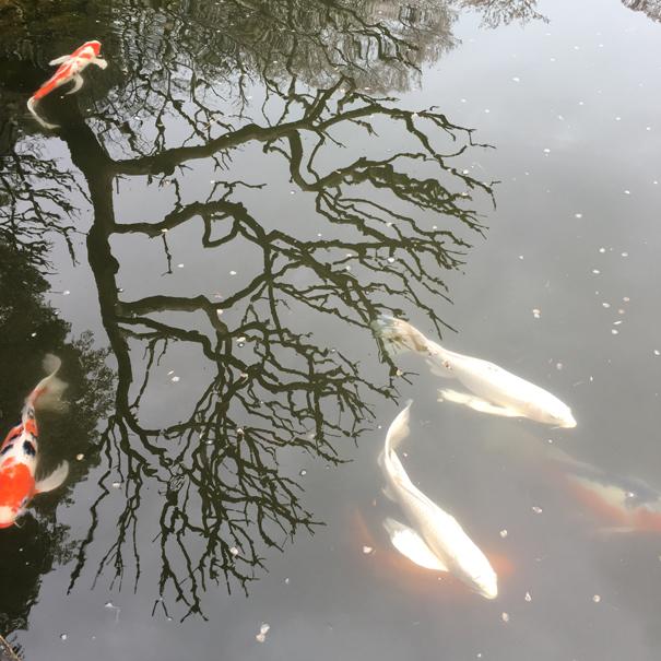 Koi carp in Japan