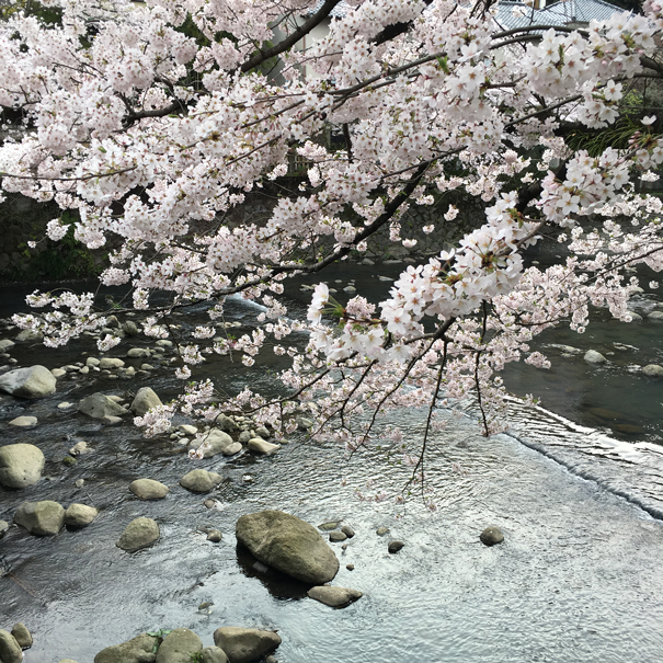 sakura season in Japan