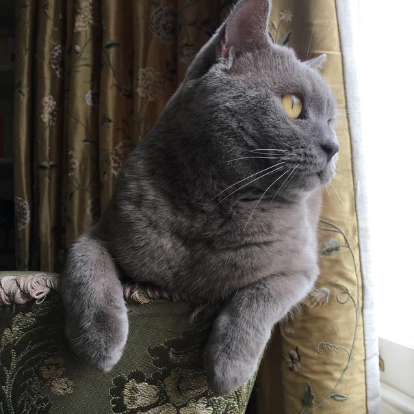british shorthair cat Wooster puss taken by Isla Simpson
