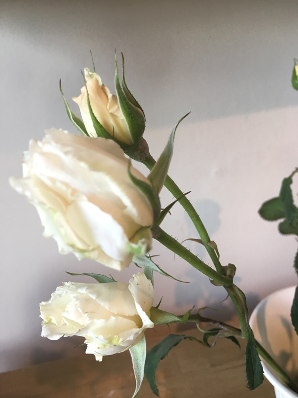 Margaret Merril rose buds by The Real Flower Company