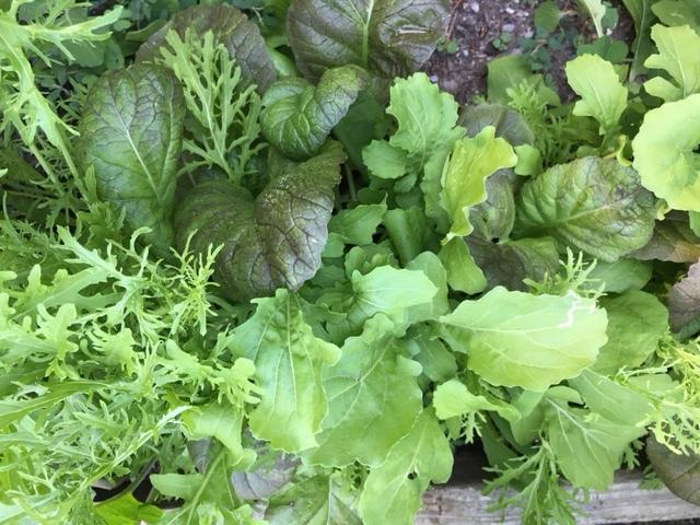 summergarden_lettuce2JPG.JPG