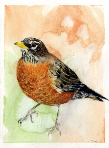 American Robin, January 4, 2016, from  Kingdom Animalia