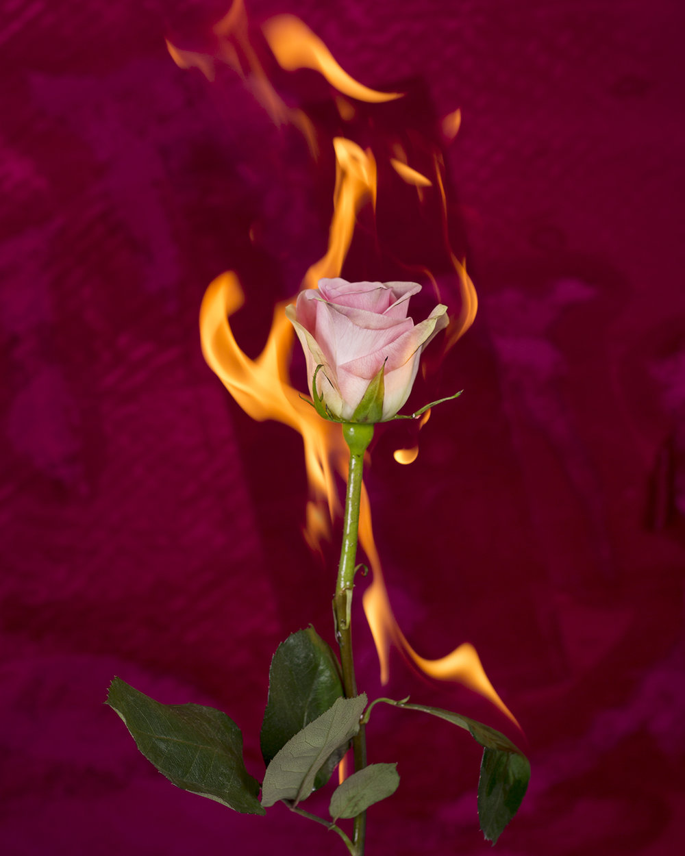 Burning Rose, 2017