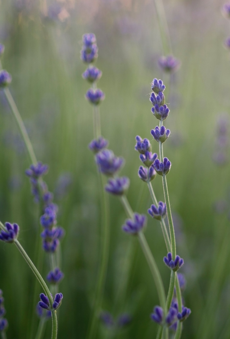 Lavender Syrup - Add equal parts water and syrup in a small pot with a handful of dried lavender petals. Bring to boil, simmer a few minutes. Allow to cool, then strain through a mesh sieve into a glass container. You will have enough for several recipes, so keep it in the fridge in an airtight container.