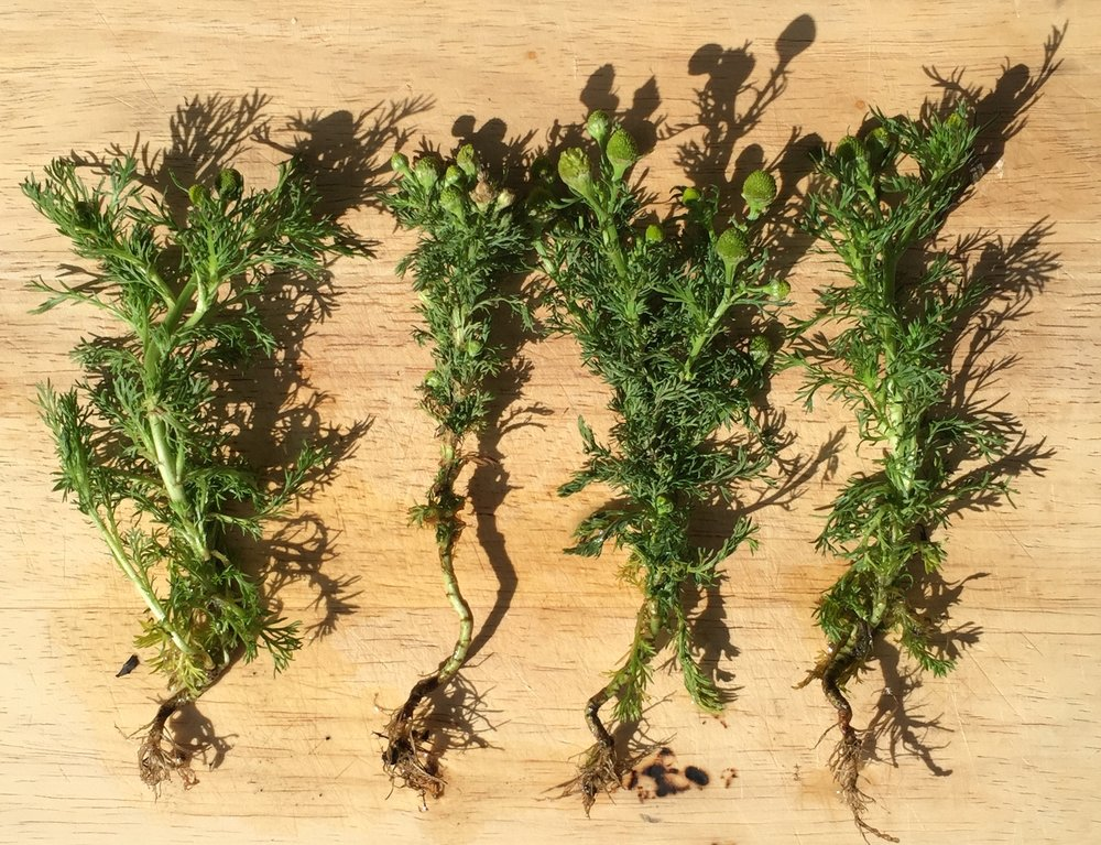 pineapple weed and root