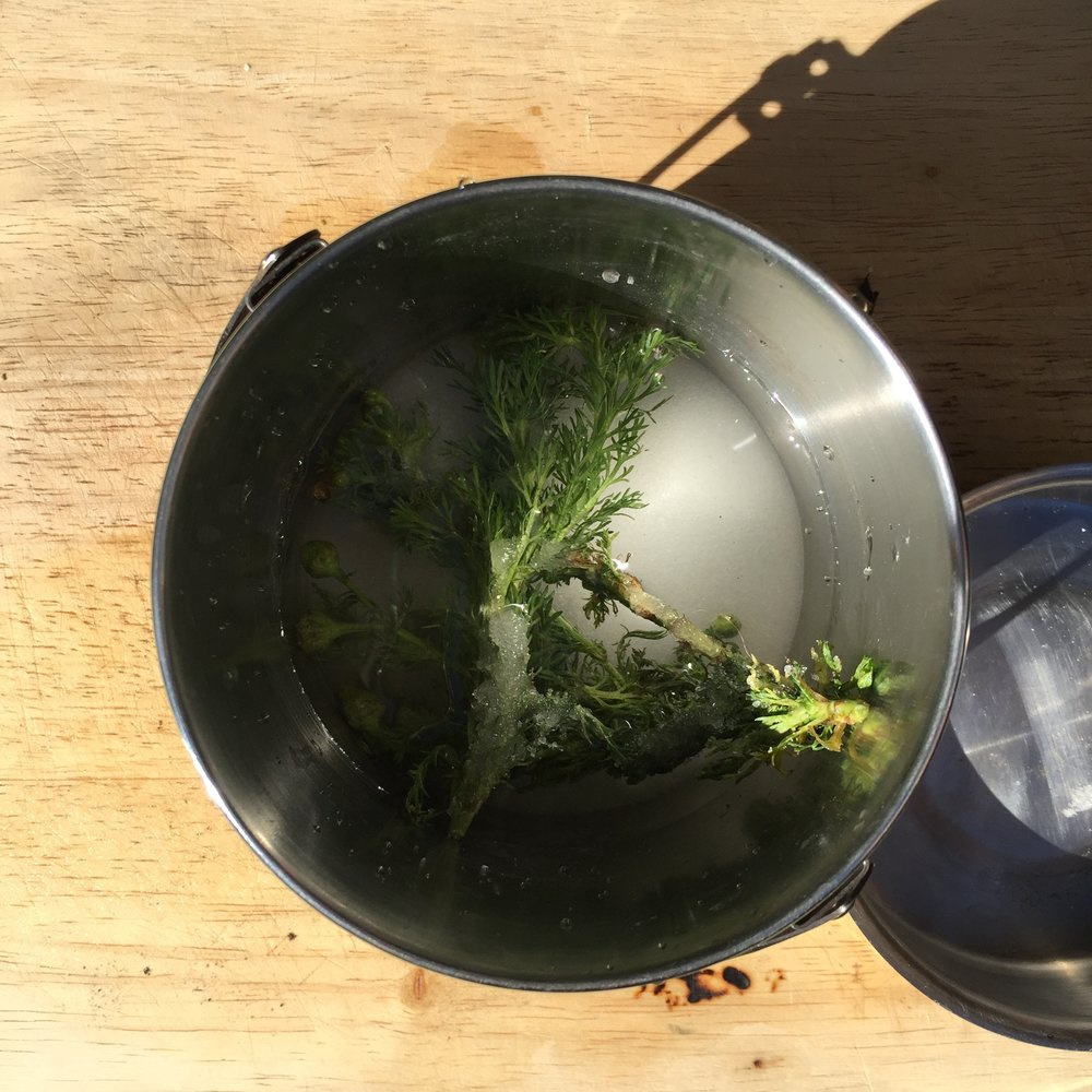 making pineapple weed syrup