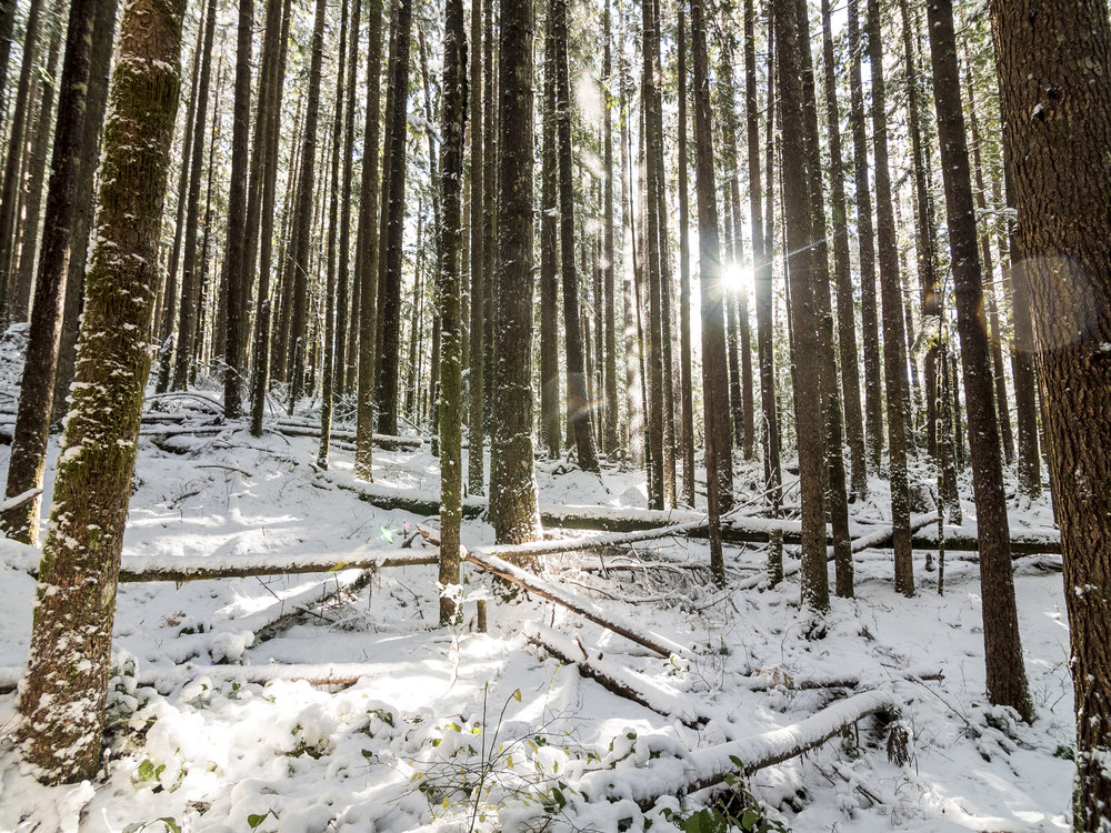Peaceful Nature Scene of Sun Peaking Through Thin Snowy Forest Trees