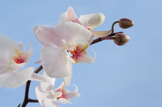 ORCHID & JASMINE -