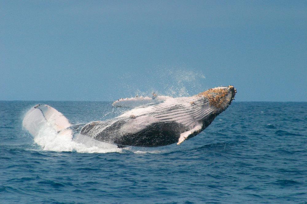 Seasonal_humpback_whales.jpg