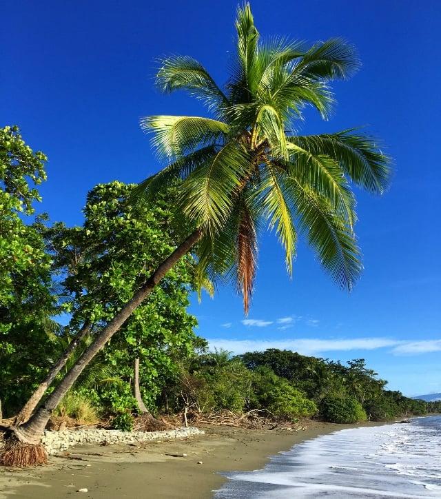 Palm tree at Blue Osa