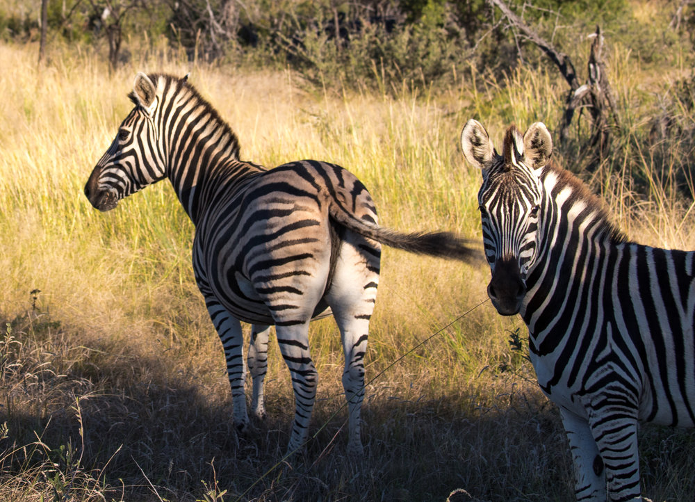 wikerts in wanderlust south africa zebra