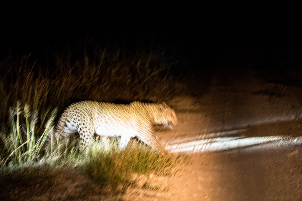 terrible shot of our leopard friend. we tracked him on a high speed chase through trees and bushes as he hunted kudu.