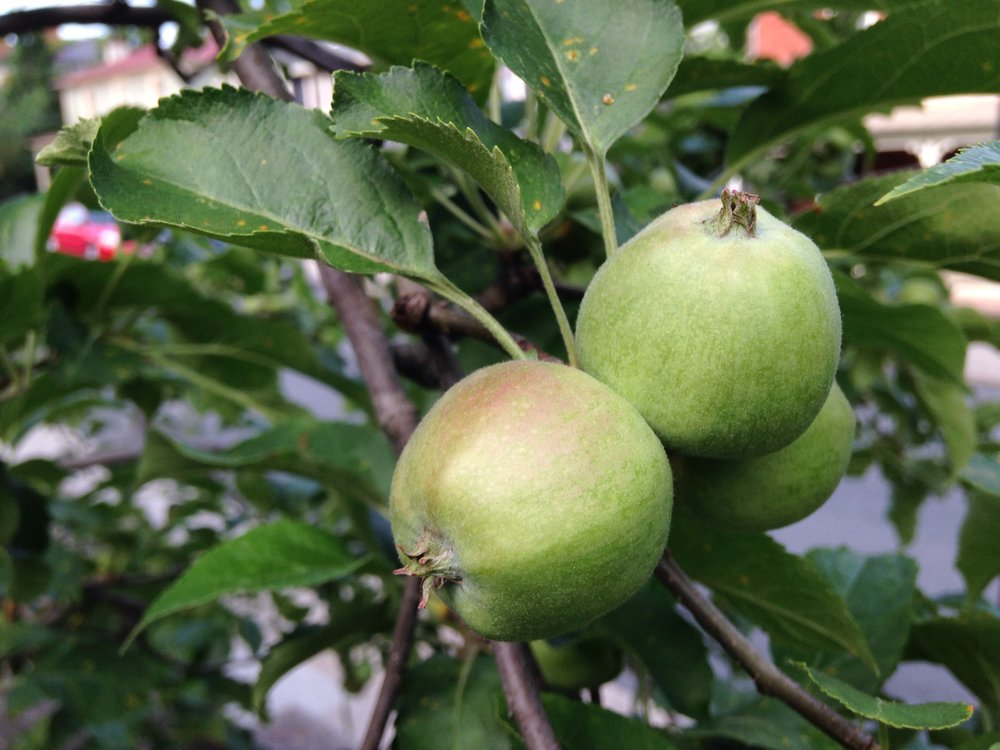 small, green apples.jpg