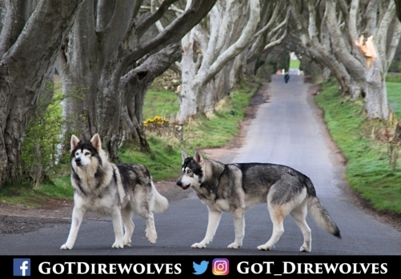 GOTDirewolves4.jpg