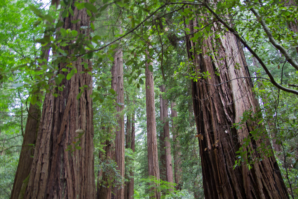 what to wear in san francisco, what to pack for california, muir woods, california redwoods, redwood forest