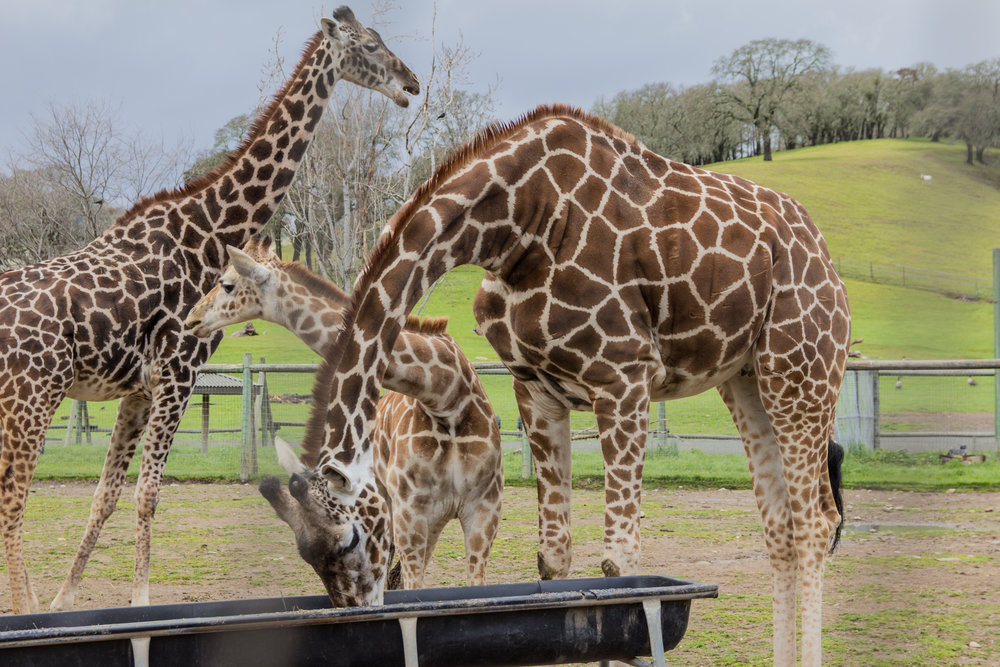 safari west, the sonoma serengeti, what to do in napa and sonoma, napa and sonoma travel guide, things to do in napa and sonoma besides drinking wine, exotic animal conservation in california, giraffes