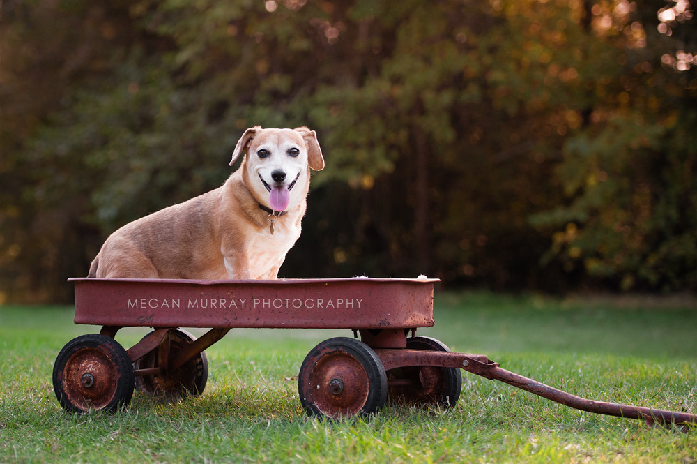 dachshund on red wagon