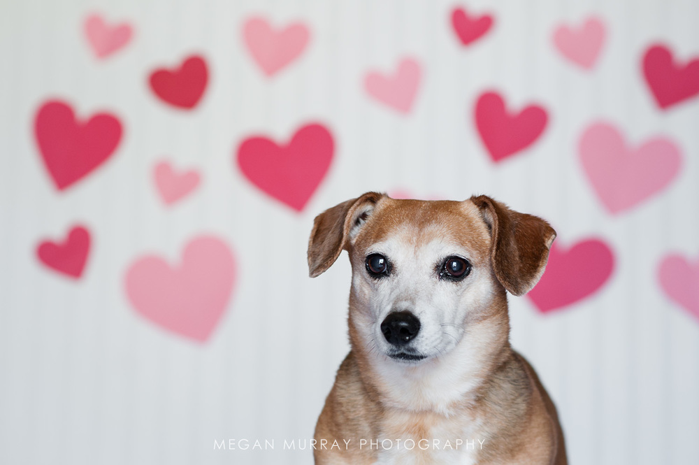 dachshund with hearts