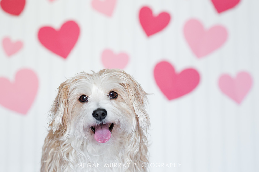 maltese with hearts