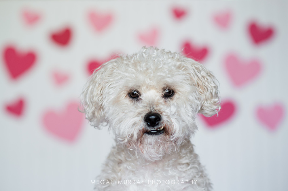 poodle terrier mix with hearts