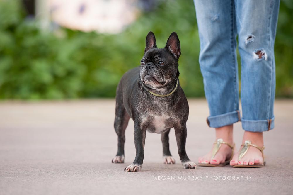 black french bulldog in houston