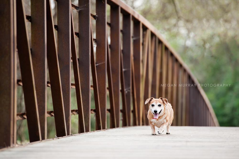 dachshund on bridge