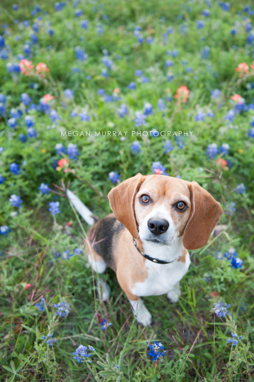 beagle in bluebonnets